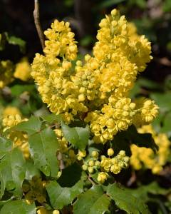 Oregon Grape (5/6/16) © Jared Manninen