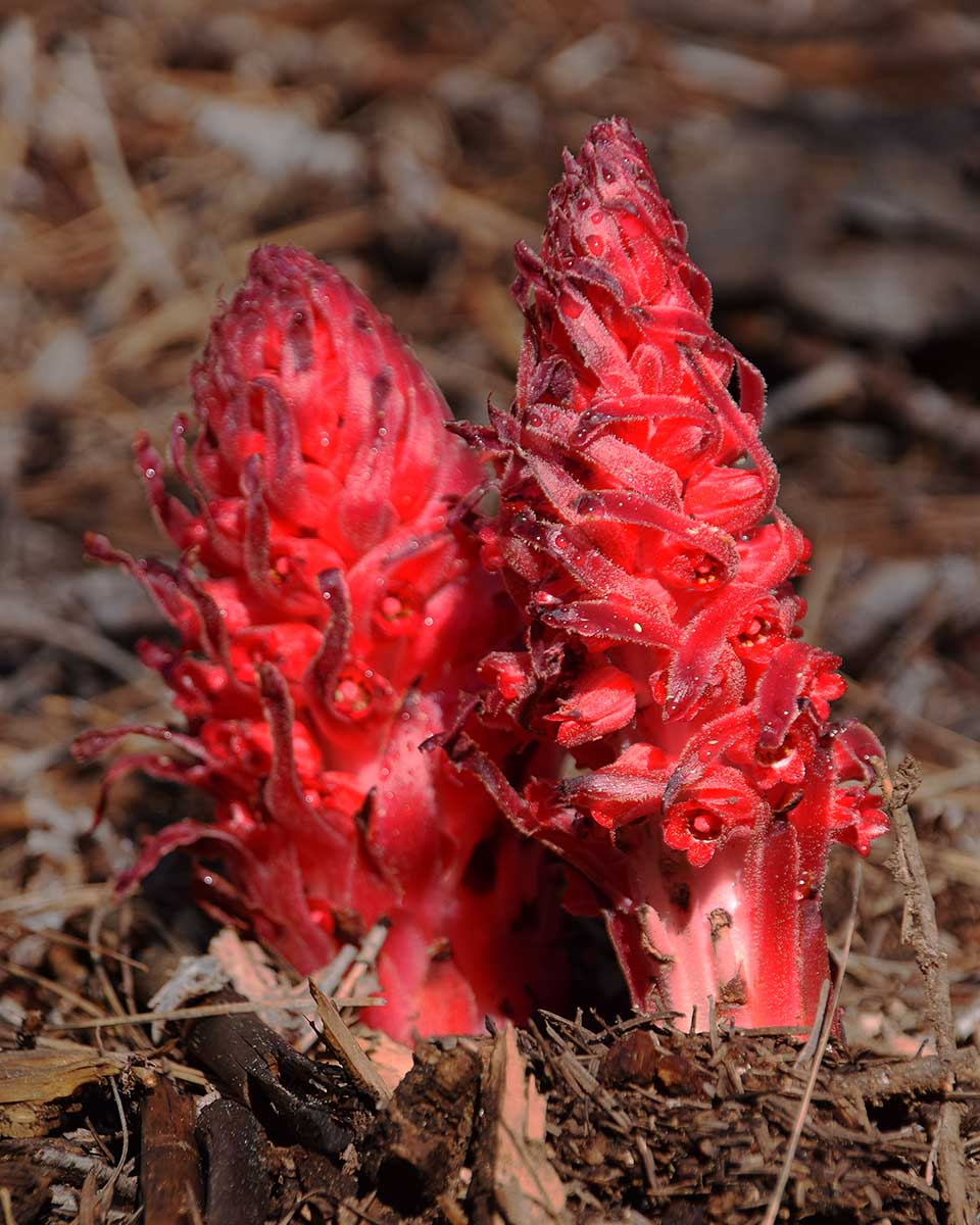 Snow Plant (5/6/16) © Jared Manninen