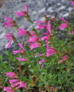Mountain Pride: Penstemon newberryi (7/26/19) © Jared Manninen