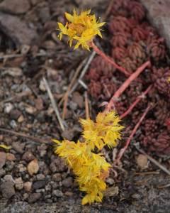 Spearleaf Stonecrop: Sedum lanceolatum (7/26/19) © Jared Manninen