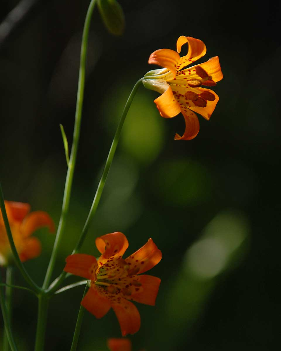 Alpine Lily (7/6/15) © Jared Manninen
