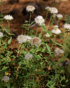 Mountain Coyote Mint (7/6/15) © Jared Manninen