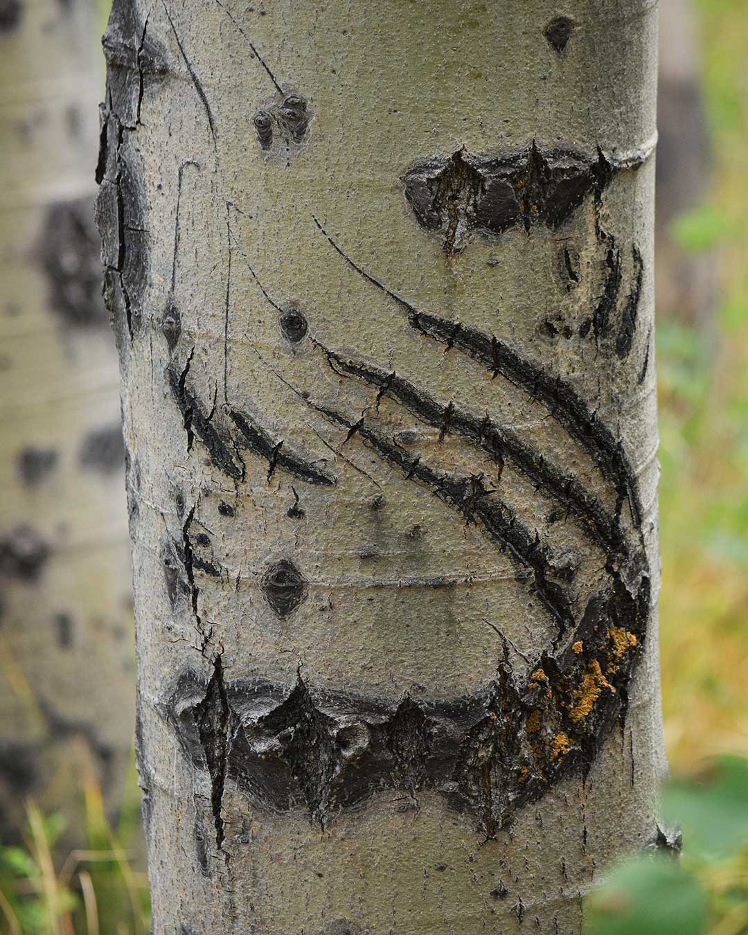 Tornado-style bear claw scratch mark on an Aspen tree at Cathedral Meadow. © Jared Manninen