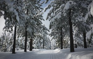 Snow-flocked trees along a groomed cross-country ski trail