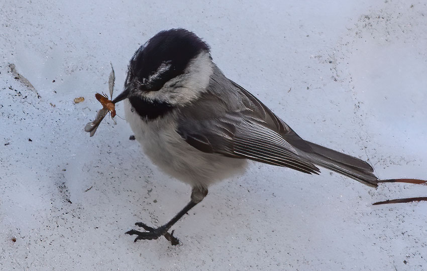 Mountain Chickadee with a large bug in its beak