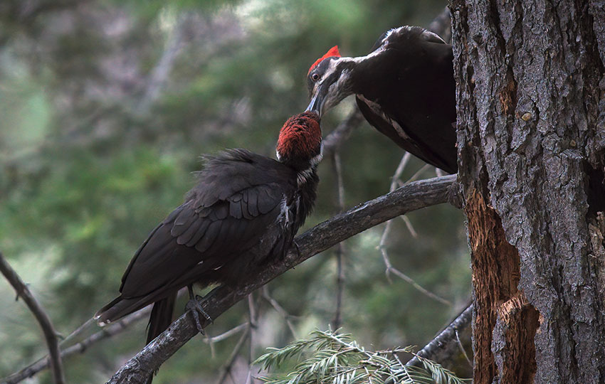 Mother woodpecker feeding her daughter