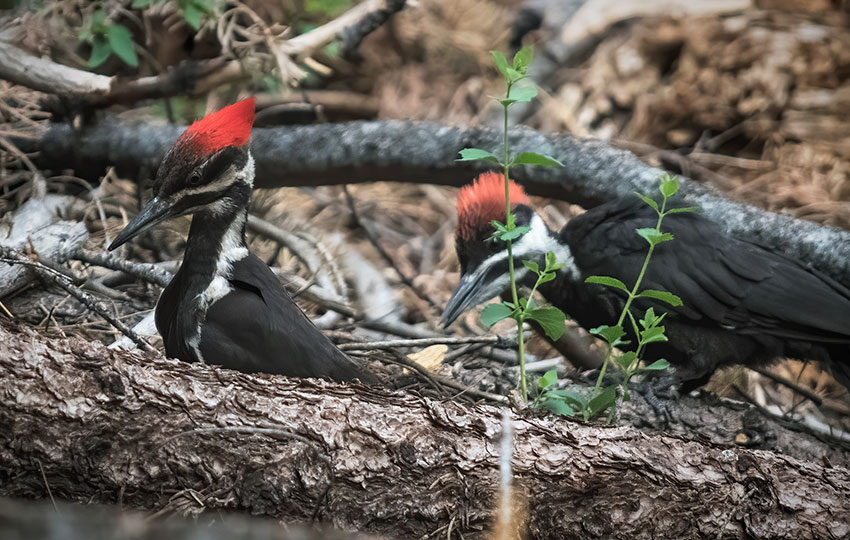 Pileated Woodpeckers looking for bugs on fallen trees