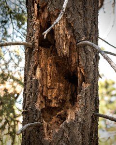 A rotten tree that's been thoroughly excavated by a Pileated Woodpecker. To see more examples of Pileated Woodpecker excavation cavities, watch the video above. © Jared Manninen