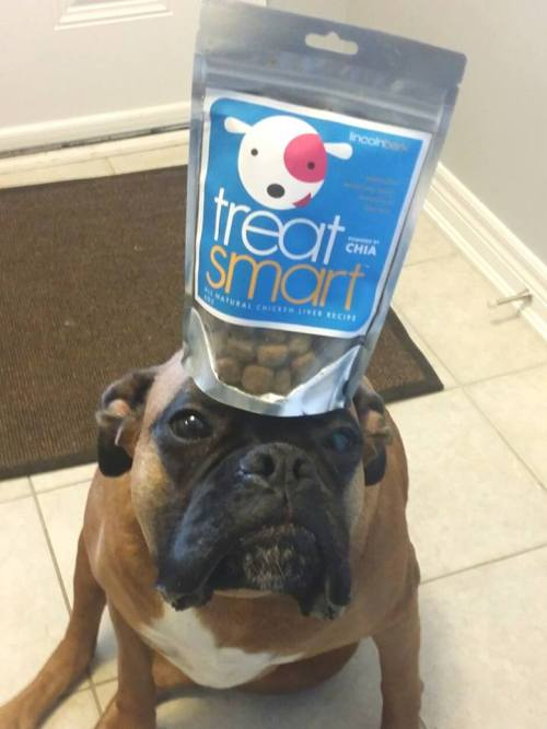 Lincoln Bark Dog Treats Review. Milo balancing the Treat Smart.