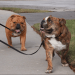 Bark Friday: Bulldog Extravaganza is Here! {Dog Friendly Event}