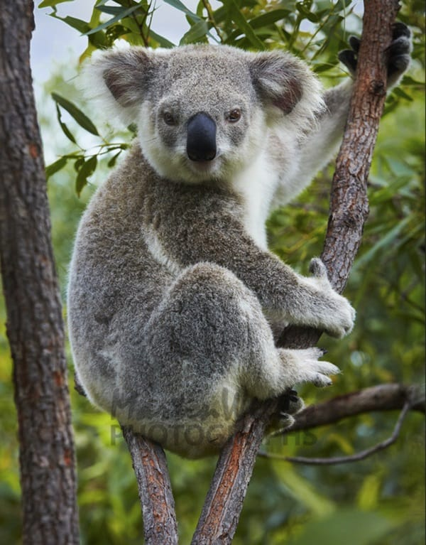 40 Amazing Koala Pictures From The Awww World Tail