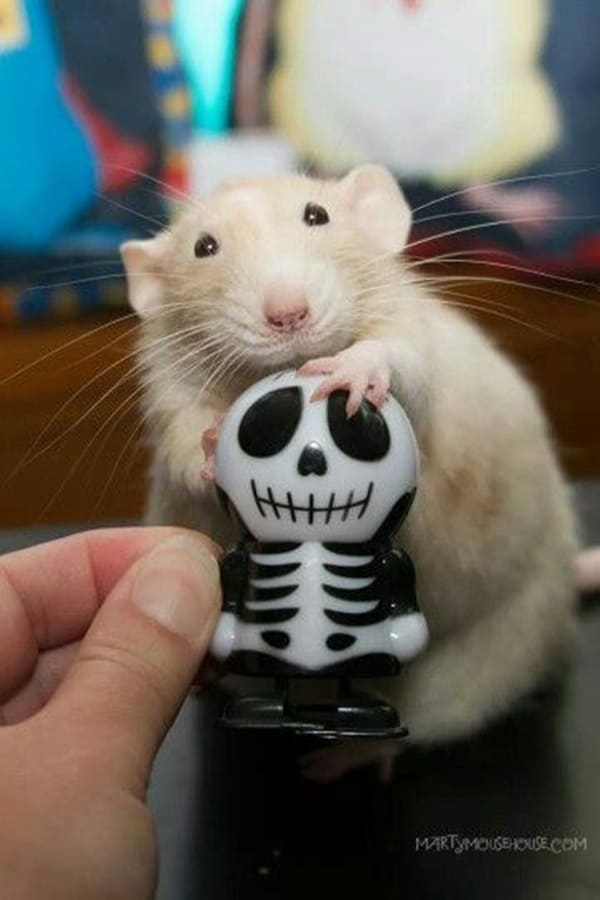 35 Captivating Rat Pictures to make You Say Awww Tail