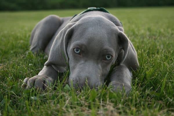 Weimaraner Dog Breed Information And Pictures Tail And Fur