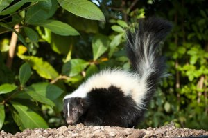 skunk-tall-tail