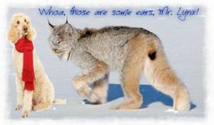 Endangered Lynx (Lynx canadensis) in Colorado