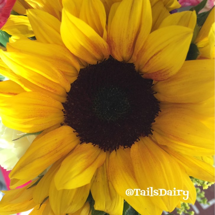 Sunflowers are feline friendly too