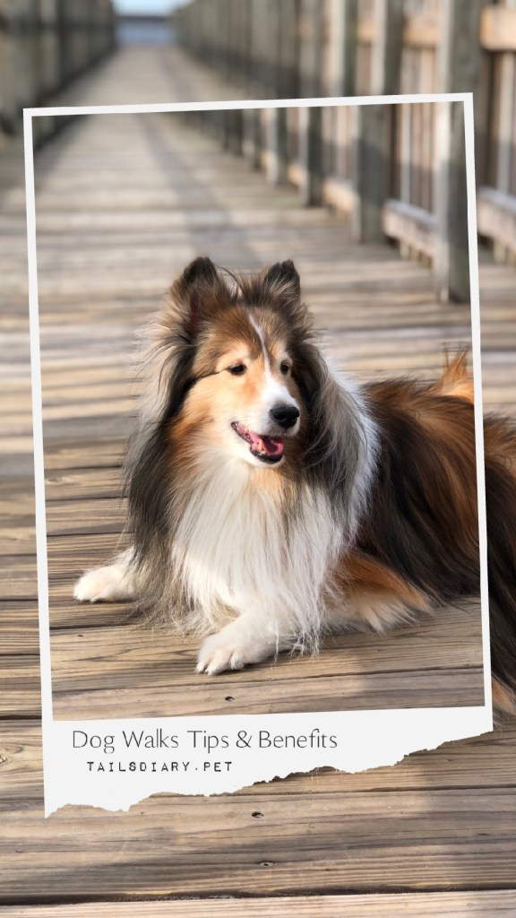 Dog walks and activities helps the whole family fitness plan. This is a sheltie dog that enjoys riding in the car, visiting the park, and strolling in the neighborhood.