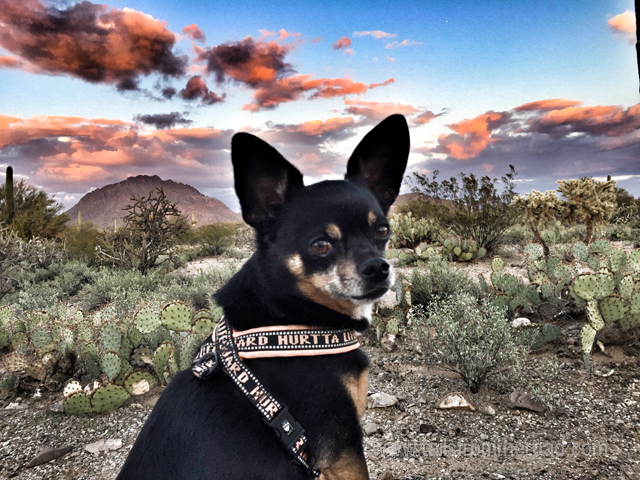 Romeo sporting his Hurtta harness in the Tucson Desert.