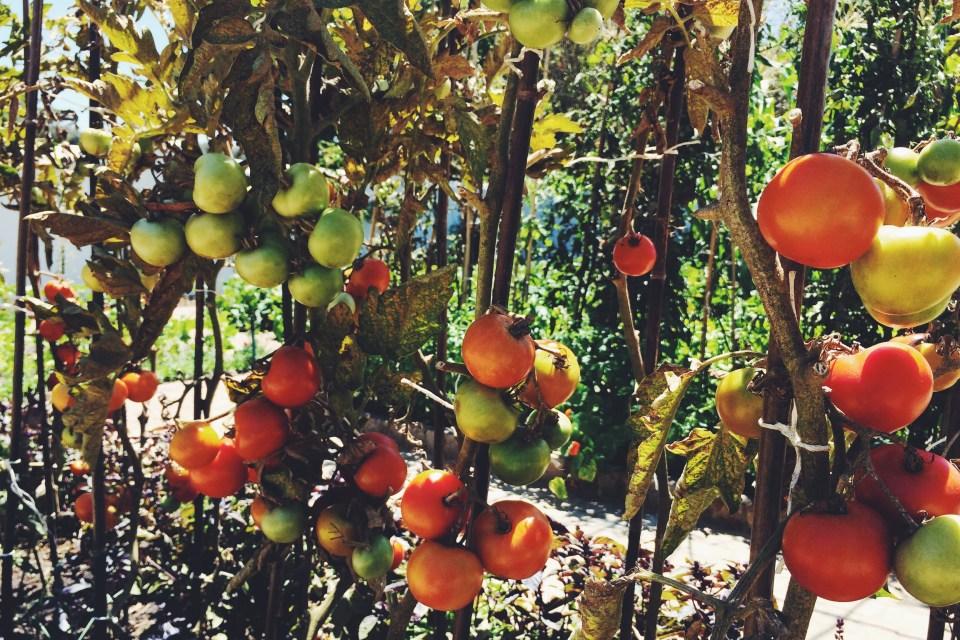 spier wine farm organic tomatoes