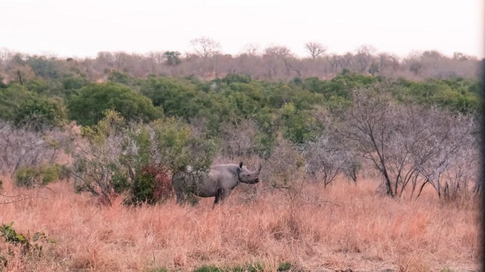 black rhino kruger park