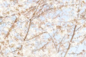 scenery-flower-20150328-02