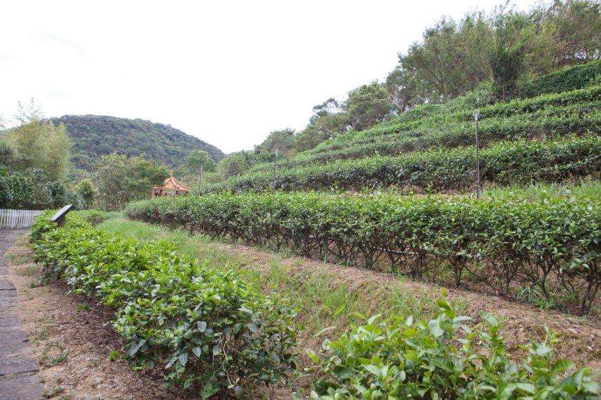 Tea plantation at Maokong