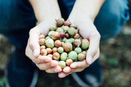 Camellia seeds (image source: Cha Tzu Tang)