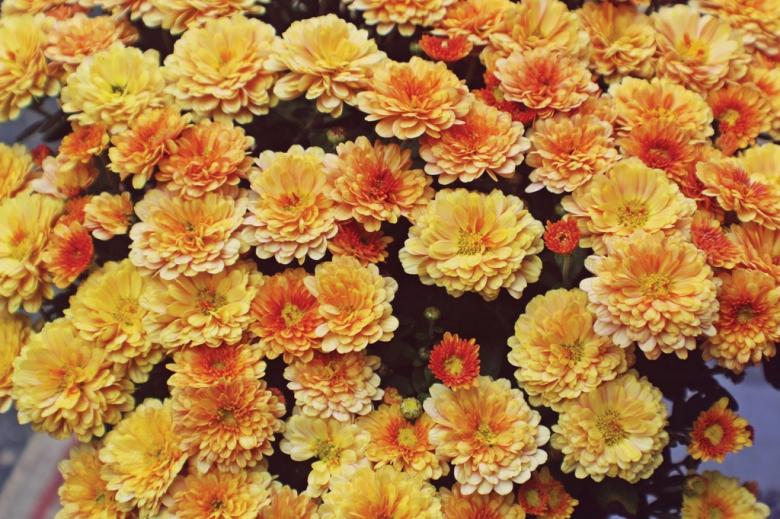 Sending Flowers-Culture-Chrysanthemum
