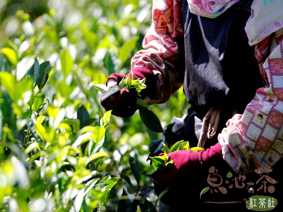 手工摘採茶葉
