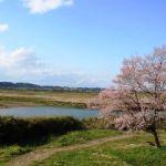 白鳥舘遺跡。桜