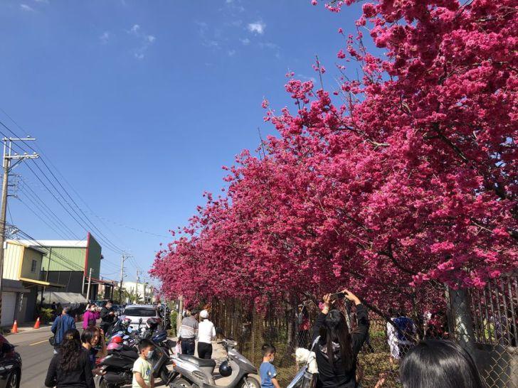 2021 02 16 151534 - 新社櫻花|私人櫻花園盛開超茂密,不收門票免費參觀,可近距離賞櫻花唷!