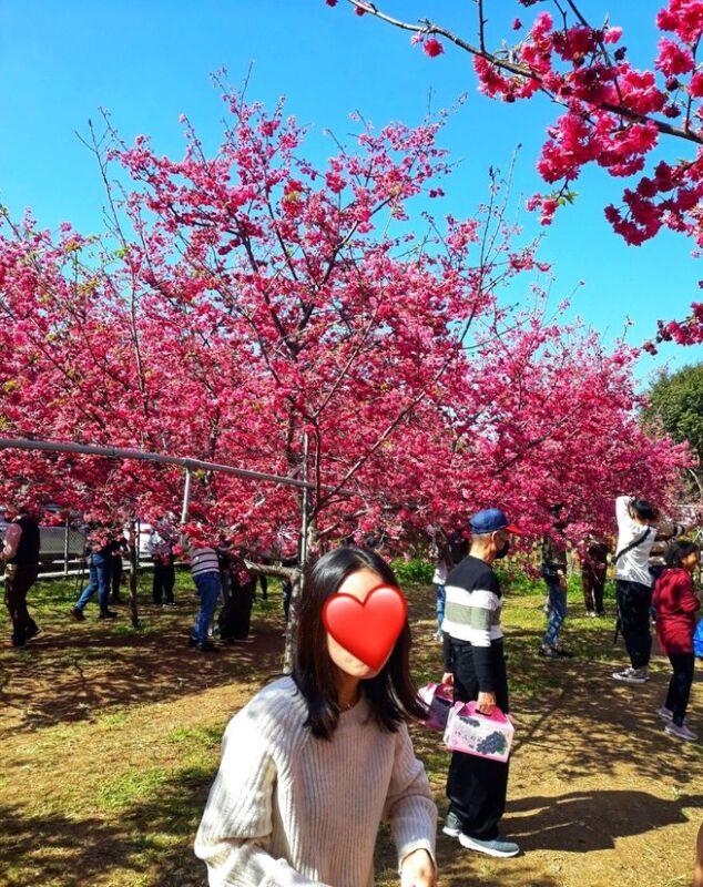 2021 02 16 151642 - 新社櫻花|私人櫻花園盛開超茂密,不收門票免費參觀,可近距離賞櫻花唷!