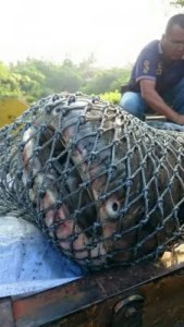 A catfish shark is seen in a net after being caught in a pond in Kaohsiung August 2015
