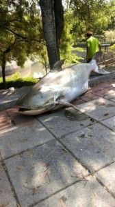 A catfish that died after the water level was dropped at a pond in Kaohsiung City