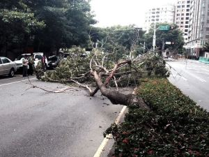 A fallen tree blocks a road in Taichung City Taiwan well before the full brunt of Typhoon Soudelor is felt