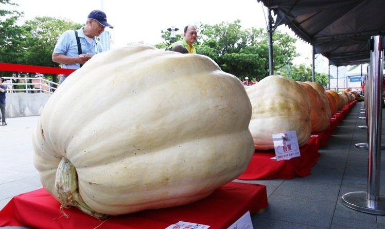 Giant pumpkins from the 13th annual National Pumpkin Contest in Danshui, New Taipei City