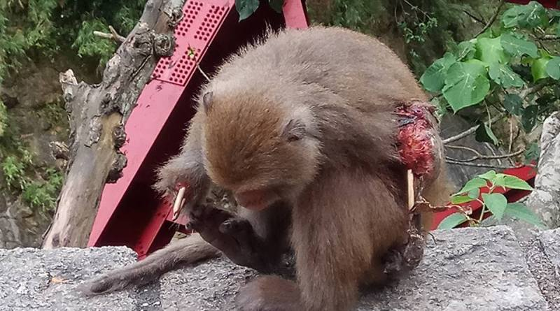 severely injured Formosan macaque