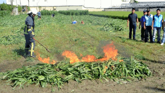 firefighter burns corn crop affected by fall army worm in Changhua County