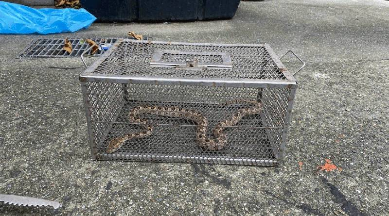 venomous formosan pit viper caught in Keelung City after biting firefighter