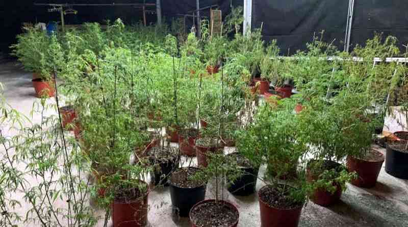 marijuana plants grown at a farmhouse in Pingtung County, Taiwan