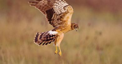 Northern-Harrier-Hawk-by-Audubon