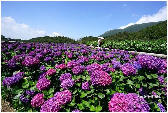 陽明山竹子湖繡球花大賞園DSC02746