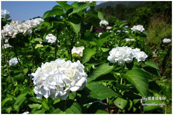 陽明山竹子湖繡球花大賞園DSC02757