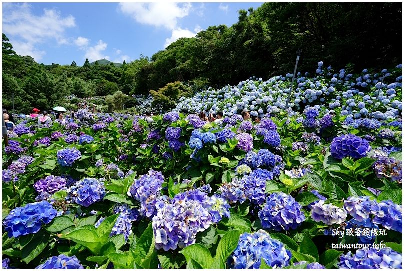 陽明山竹子湖繡球花DSC02890