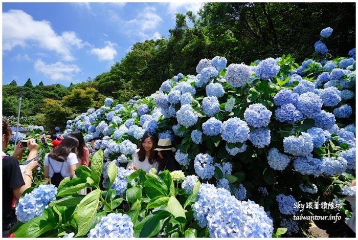 陽明山竹子湖繡球花DSC02896