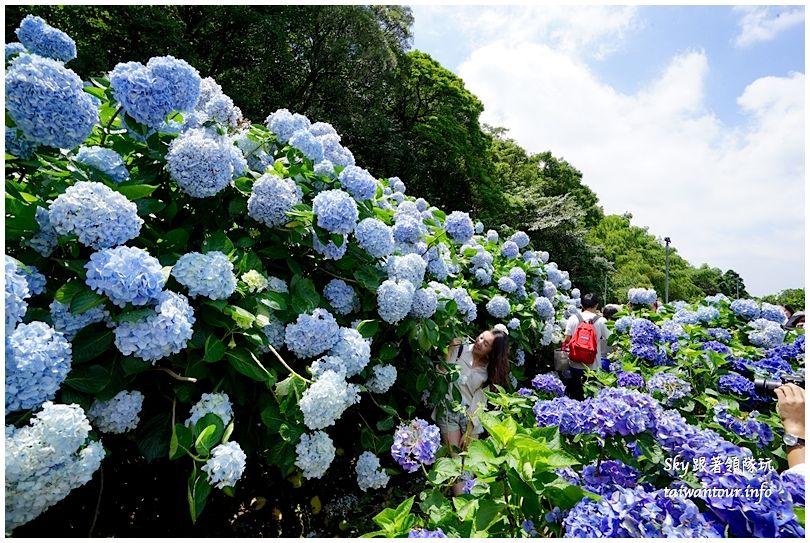 陽明山竹子湖繡球花DSC02904