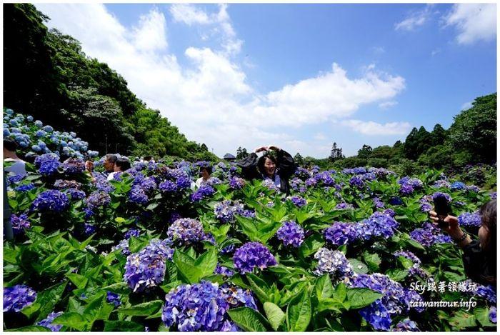 陽明山竹子湖繡球花DSC02907
