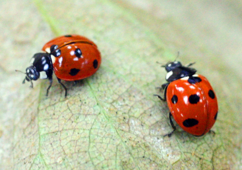 20090312大紀元時報 防治害蟲 瓢蟲人工飼育有成