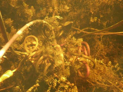 ボツワナモコロトリップ水中 (3)
