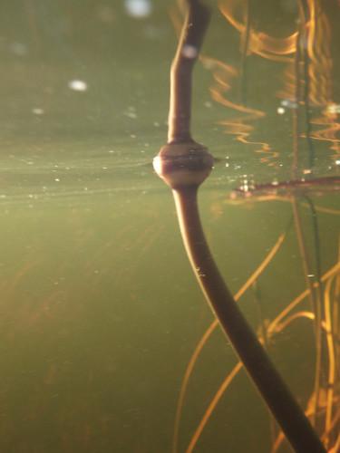 ボツワナモコロトリップ水中 (4)